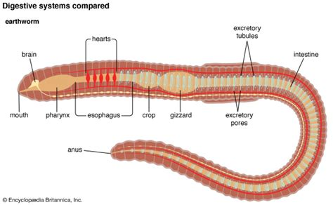 Diagram Respiratory Tract Of Earthworm Human Anatomy Picture Comparative Anatomy Earthworm Students Britannica Homework Help