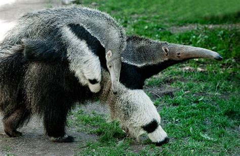 anteater facts animal facts encyclopedia
