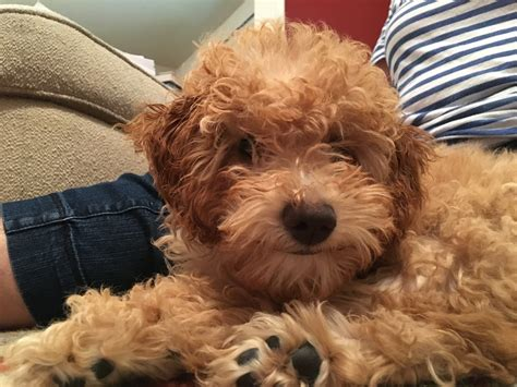 goldendoodle puppy omaha using positive reinforcement to a puppy golden