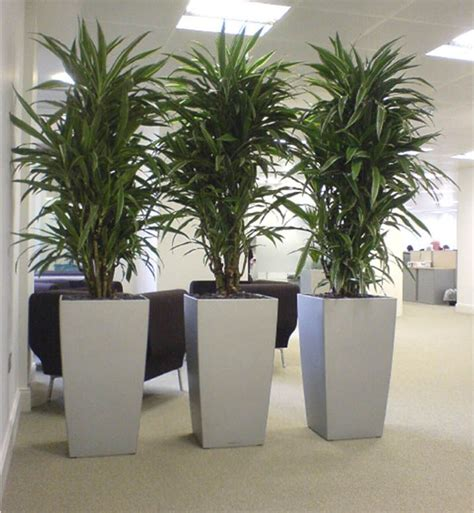 plant for office cool dracaena plants in silver cubico lechuza planters
