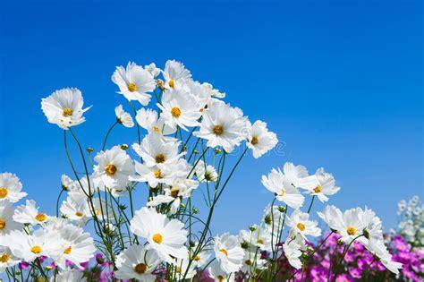 4 flores azules para jard flor blanca cosmos y cielo azul en el jard 237 n imagen de