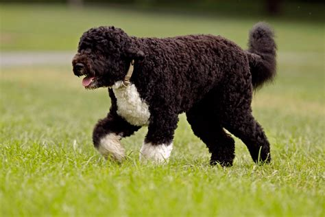 curly hair puppy top 10 curly haired dogs