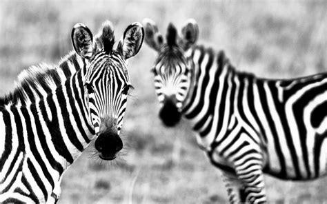 imagenes de cebras en blanco y negro fondo de pantalla par blanco y negro de las cebras my hd