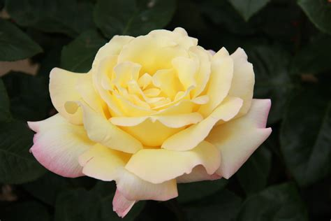 file hybrid tea rose rosa peace jpg wikimedia commons