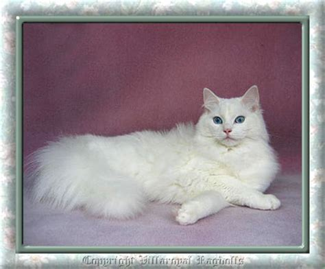 ragdoll white cat white ragdoll cat www pixshark images galleries