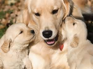 golden retriever behavior and personality july 2012 roger abrantes