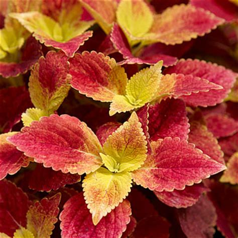 coleus shade loving with blended leaf