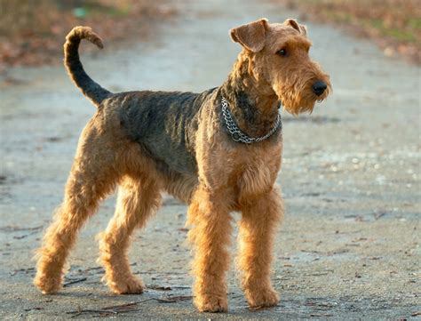 types of terrier dogs kinds of terriers images frompo 1