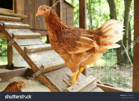 Backyard Chicken Farming Stock Photo 141568141 Shutterstock Backyard Chicken Farmer