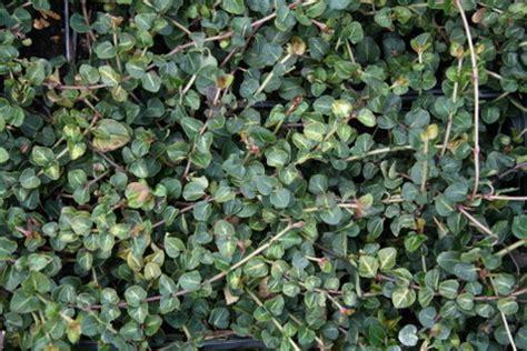 Bodendecker F R Schatten 1270 by Bodendecker F 252 R Grabbepflanzung Bodendecker
