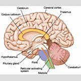 Hypothalamus   353 x 298 gif 23kB