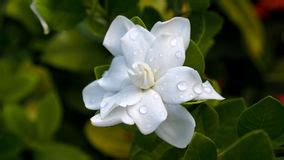 Gardenia Wont Bloom Cape Flower Stock Photos Images Pictures 161
