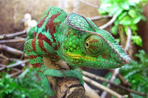 pet chameleons ultimate guitar