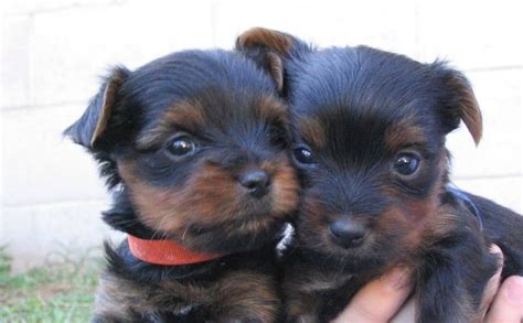 how often do yorkie puppies two yorkie puppies jpg 1 comment