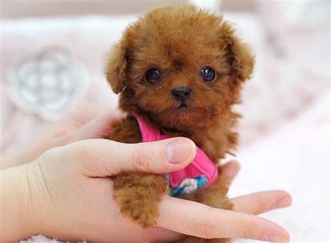 can my teacup poodle get the standard poodle haircut tea cup poodle dog goldenacresdogs com