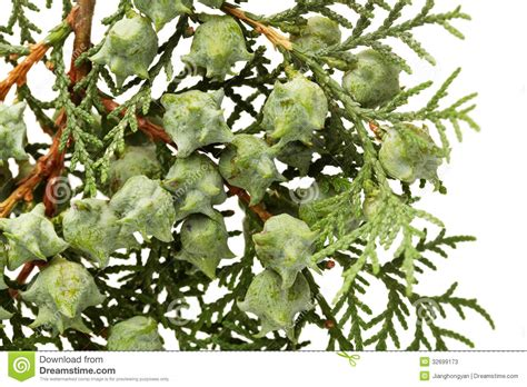 leaves of pine tree stock photos image 32699173