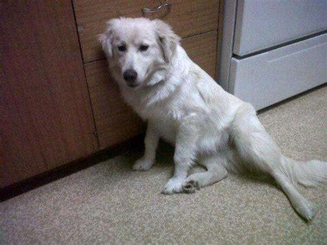 golden retriever puppies for sale saskatchewan golden retriever x lab for adoption for sale adoption from outlook