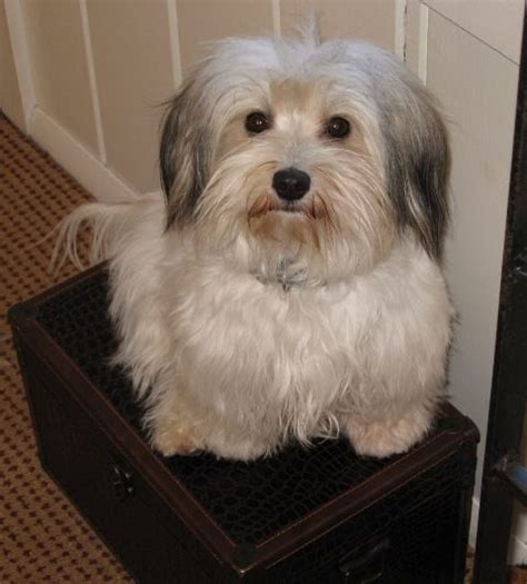 havanese haircut styles is the hairstyle for havanese puppies curly hairstylegalleries