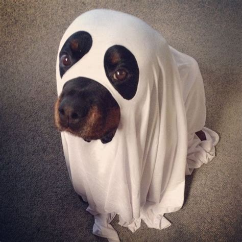 scary names for rottweilers i iz a big scary ghost boo rottweiler dogcostume dressuptime rottweilers