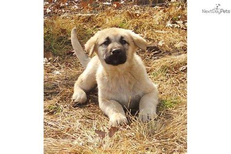 anatolian shepherd puppies for sale meet akc joseph a anatolian shepherd puppy for sale for 850 akc joseph