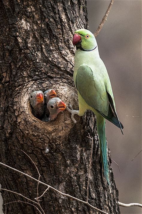 family portrait of a rose ringed parrot what a family