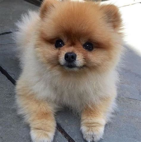 pomeranian puppies for sale in alaska micro pomeranian puppies for adoption fairbanks for sale fairbanks pets dogs