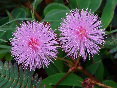 mimosa pianta in vaso mimosa pudica piante da giardino mimosa pudica