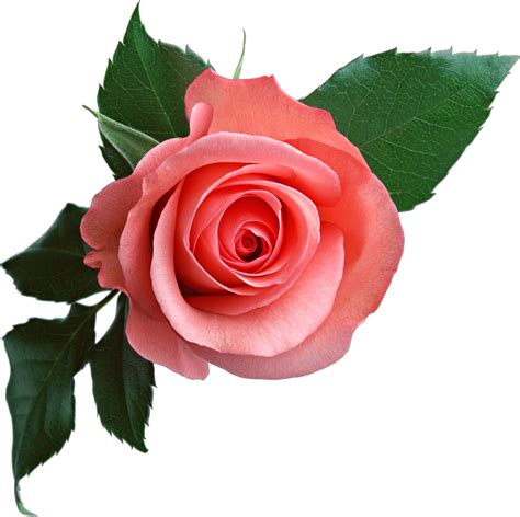 flower expert red and pink roses image pink rose png flower clipart