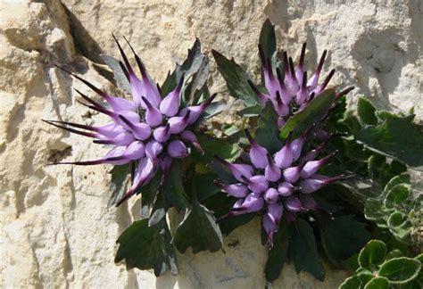 raperonzolo fiore trovati sulle dolomiti pagina 2 foto dei fiori e delle