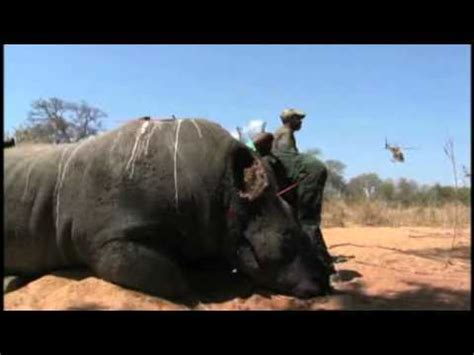 western black rhino extinct… it is no more « justonemorepet