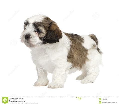 mixed breed puppies for free mixed breed puppy royalty free stock photo image 8196095