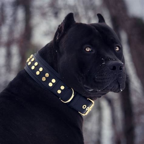 pin  nour andalos  dogs pinterest black pitbull