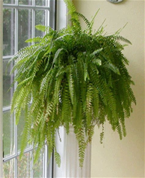 north window plants decorating corners with fern plants