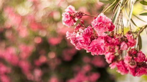 Flowers Pink wallpaper pink flowers flora macro hd 5k flowers 2560