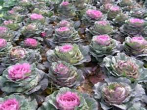 Flowers Online Tesco - valentine s day gifts flowering cabbages for the one you