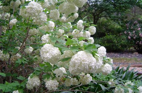House Plant Australian Caprifoliaceae