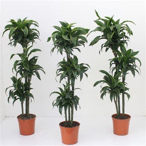tronchetto pianta appartamento dracena dracaena dracaena piante da interno