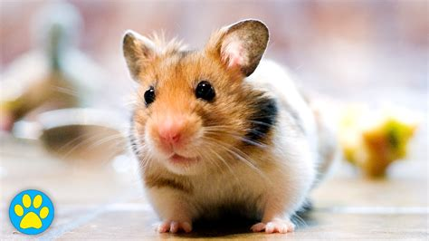 7 Tips On Taking Care Of Hamsters by Blindness In Hamsters Care Tips