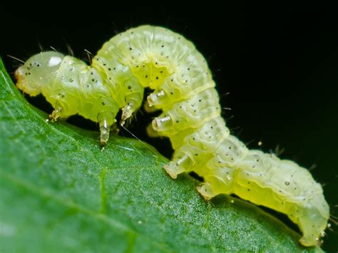 inch worm dan simon macrophotography inchworm