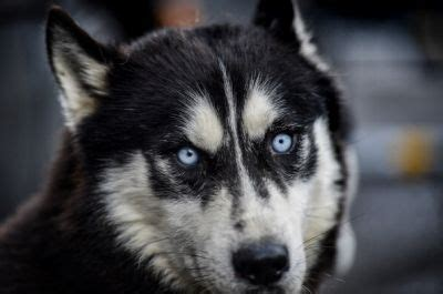 when were dogs domesticated dogs were destined to become s best friend domestication took place on both