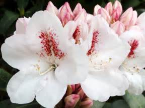 What To Plant In The Fall Garden - rhododendrons photo galleries mcbg inc 2017 fort bragg california