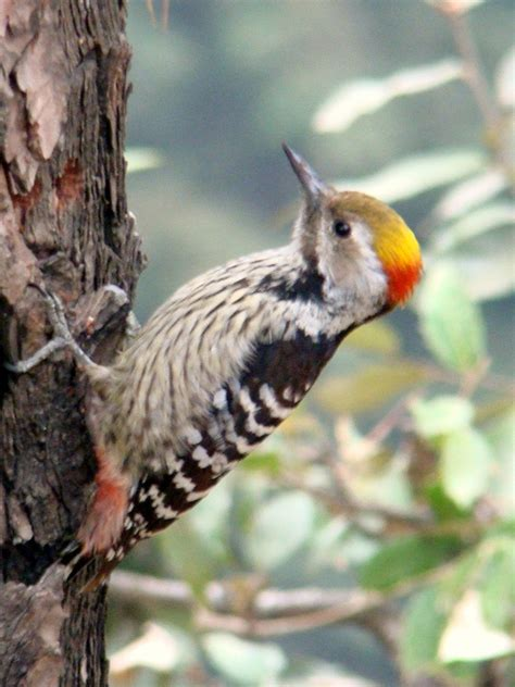 file brown fronted woodpecker jpg wikimedia commons