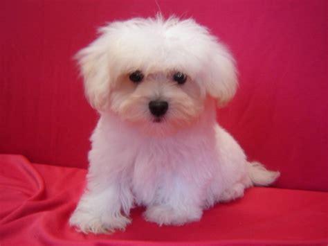 free maltipoo puppies pets malti poo maltipoo breed