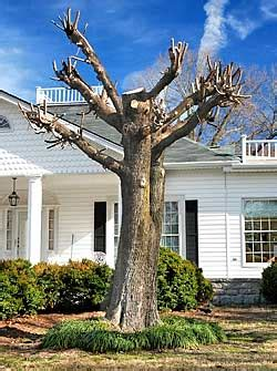 Tree Topping ? What You Don?t Know is Killing Your Trees