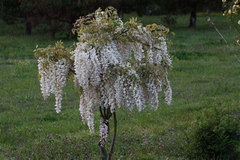 glicine in vaso prezzo glicine bianco ricanti caratteristiche glicine