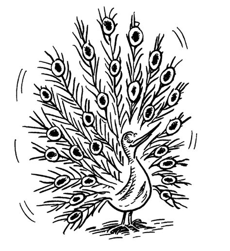 coloring pages of peacock feathers free peacock feather coloring pages