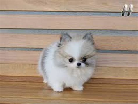 pomeranian breeders hawaii akc micro tiny tea cup pomeranian puppies animals anahola hawaii