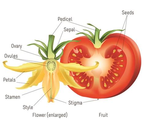 diagram of a tomato plant tomatosphere tomatosph 232 re the cycle of a tomato plant