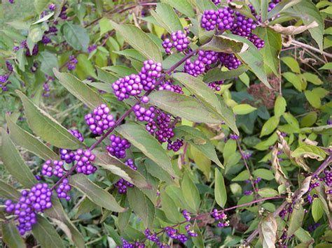 shrub with purple berries flickr photo sharing