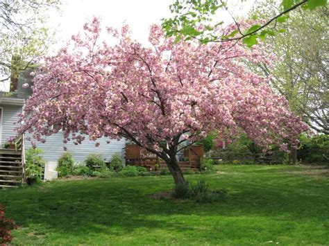 gallery for gt kwanzan flowering cherry tree problems